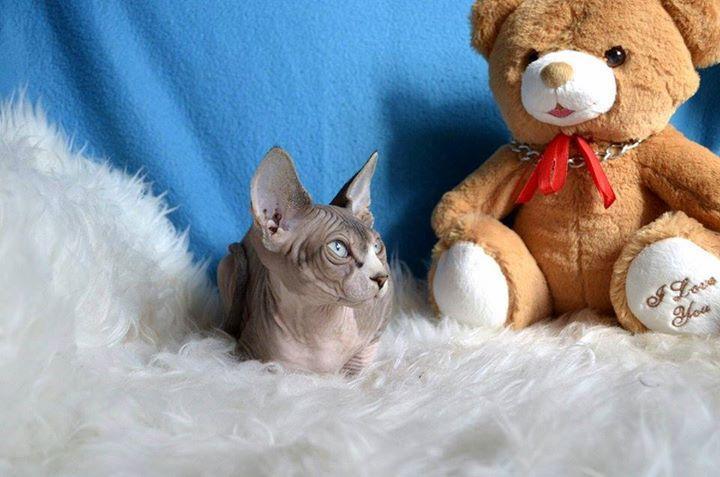 # # Quality sphynx kittens....**