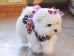 2 CUTE M.A.L.T.E.S.E Puppies (443) 300-7543) :???