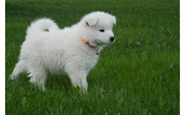 Beautiful Samoyed looking for new home