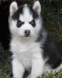 FREE Quality siberians huskys Puppies:contact us at (707) 840-8141