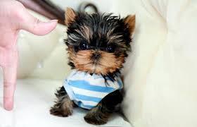 Lovely Cute Quality Y.o.r.k.i.e P.u.p.s