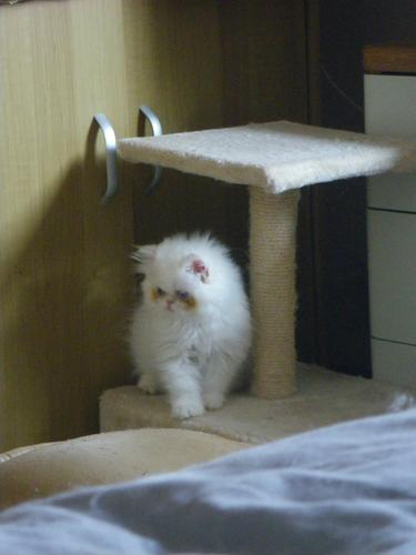 Cream Tabby Colorpoint female persian kitten.
