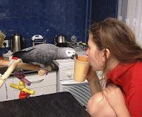 Excellent Talking Young African Greys parrot?