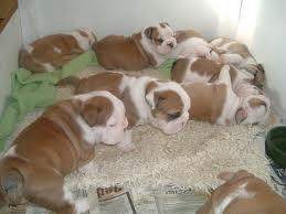 Gorgeous English B.u.l.l.d.o.g Puppies Available.