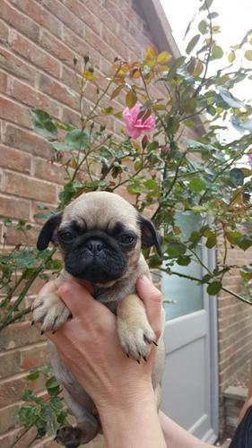 CUTIE P.UG Puppies: contact us at (202) 750-9968