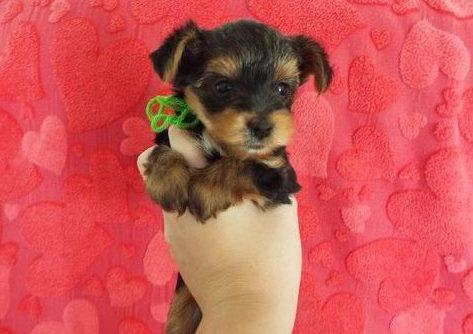 #?Fantastic Female and Male Y.o.r.k.i.e puppies for new home#? (410) 504-1231.