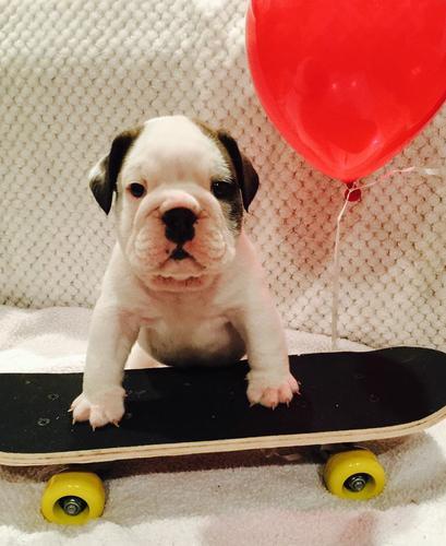 SWEET E.N.G.L.I.S.H. BU.L.L DOG PUPPIES for Loving Homes!!!(443) 212-8649