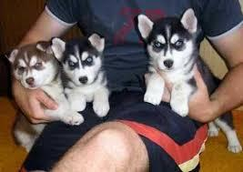 CUTIE S.I.B.E.R.I.A.N H.U.S.K.Y Puppies: contact us at(917)-341 7457