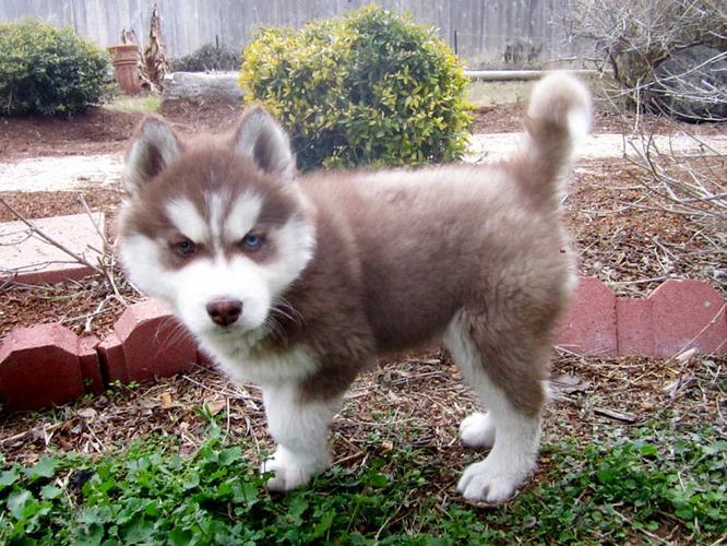 CUTE S.I.B.E.R.I.A.N H.U.S.K.Y Puppies: contact us at(678) 693-3591