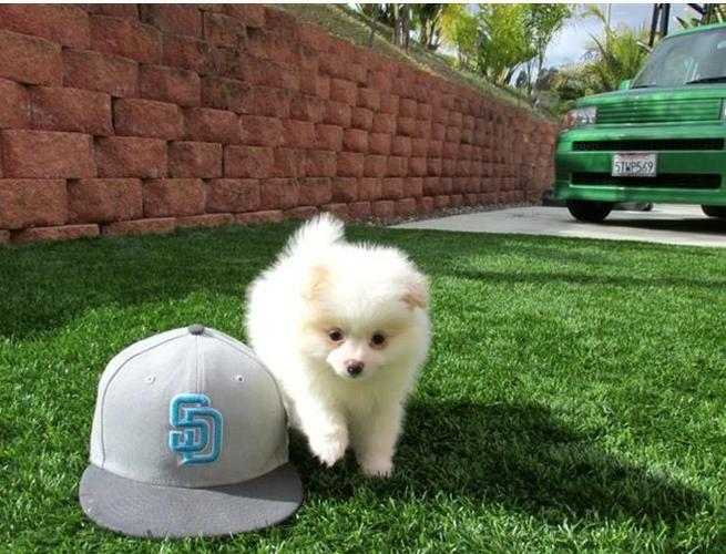 Affectionate M/F P.o.m.e.r.a.n.i.a.n Puppies!!!Sms 701 409-0063