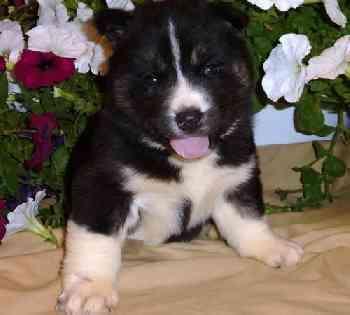 Healthy Siberia.n Husk.y puppies!!!(215) 664-7045