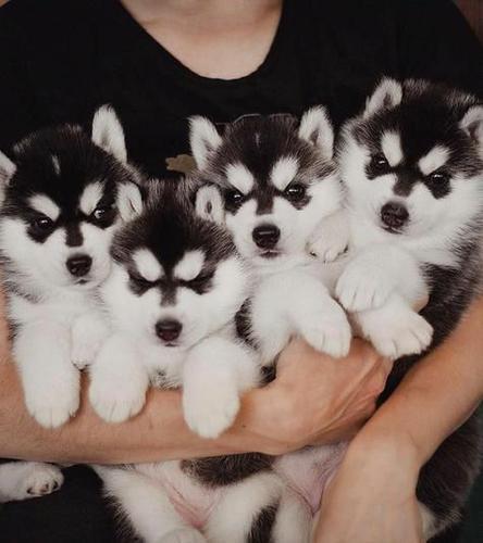 CUTE S.I.B.E.R.I.A.N H.U.S.K.Y Puppies: contact us at (443) 272-1772