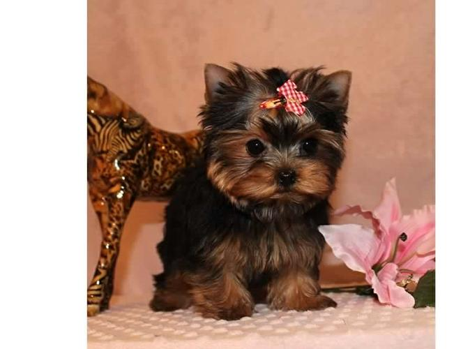 ?M.o.R.k.i.e P.upp.i.e.s For F.r.e.e, Ready Now 12 Weeks Old # (919) 391-8697