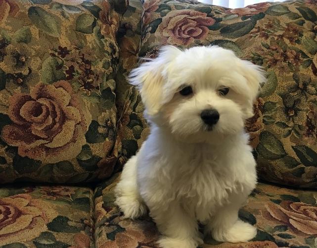TINY M.a.l.t.e.s.e  puppies  For Good Homes