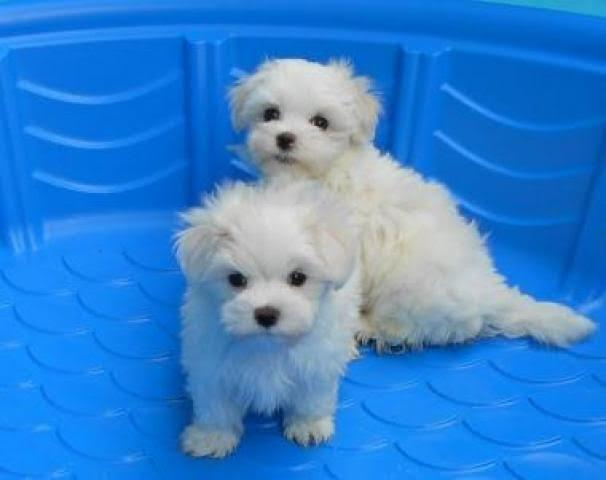 maltese puppies for adoption.text:(219) 243-9341