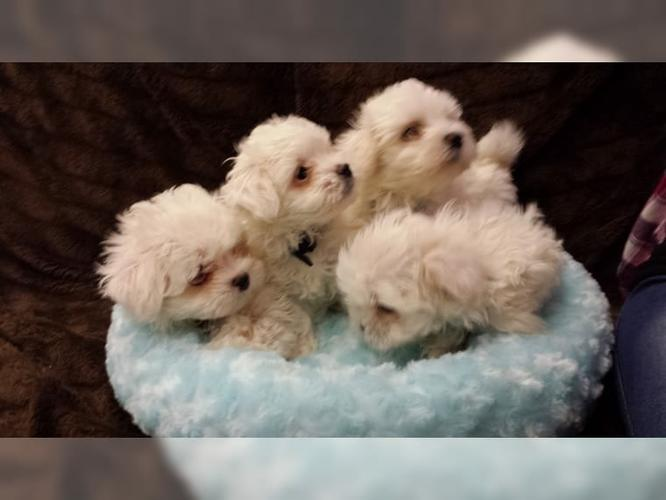 Top Quality Malteses Puppies:....contact us at (646) 439-6326