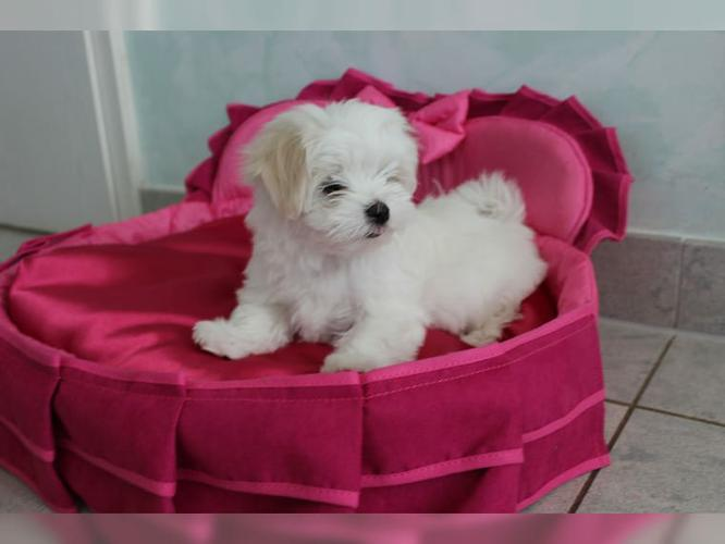 Top Quality Malteses Puppies:....contact us at((646) 439-6326