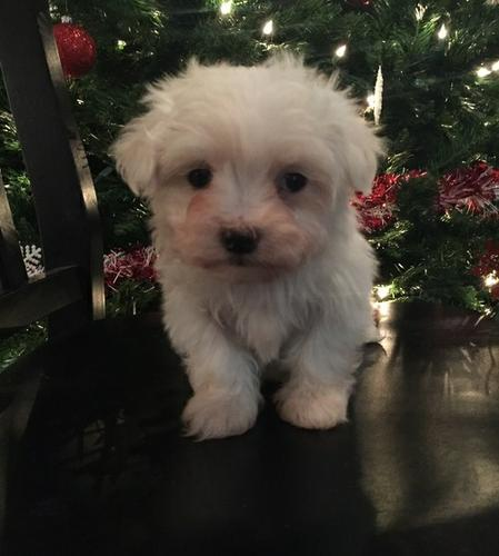 Top Quality Malteses Puppies:....contact us at(219) 232-0232
