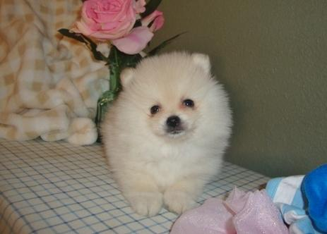 P.O.m.A.R.A.N.I.A.N puppies!!!925x 231x7313