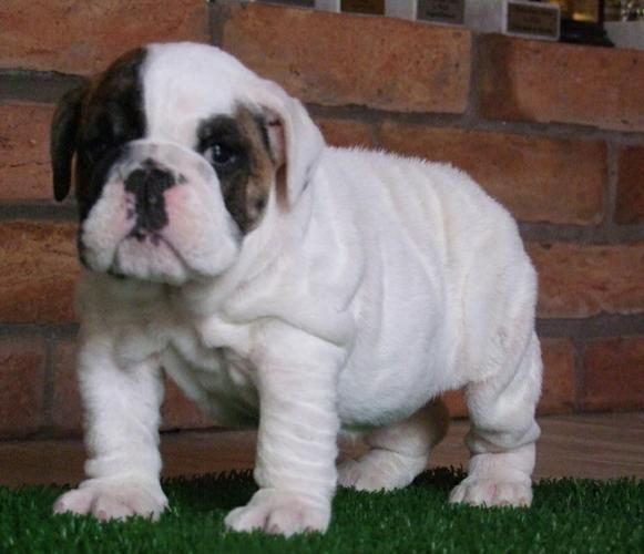 Authentic . English bulldog Puppies