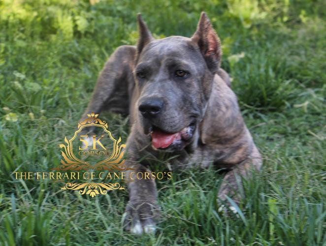 PROTECTION ,HOME ,FAMILY 6 MONTHS  BOY READY TO LOOK AFTER YOUR HOME AND KIDS