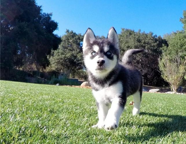 We have beautiful and cute p.o.m.s.k.y Puppie.s