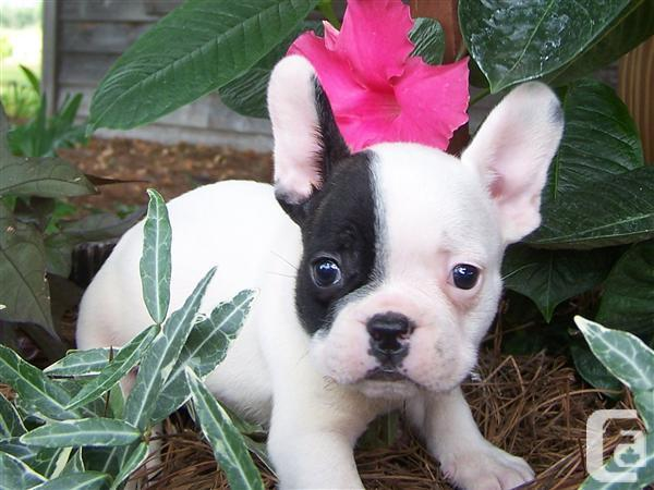 ***Wonderful French  B.u.l.l.d.o.g Puppies for lovely homes,