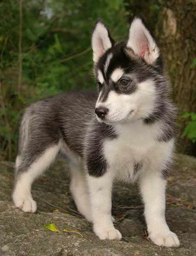 Healthy Siberia.n Husk.y puppies!!!(502) 219-4406