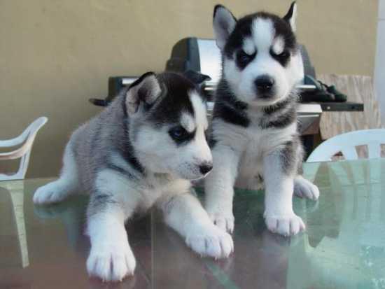 CUTE S.I.B.E.R.I.A.N H.U.S.K.Y Puppies:???contact us at (909) 473-5528