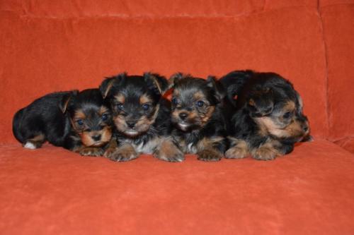 Two Gorgeous R.o.t.t.w.e.i.l.e.r Puppies Available. (719) 838-2388