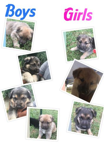 German Shepard puppies- rehoming fee