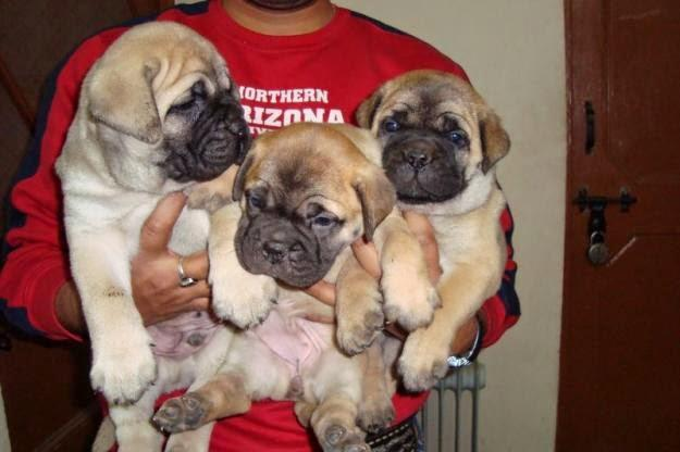 B.u.l.l M.a.s.t.i.f.f P.upp.i.e.s For F.r.e.e, Ready Now 3 months Old # (410) 406-7653