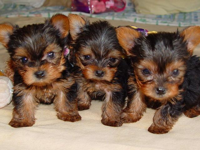ad...Two T-Cup Yorkshire-Terrier Puppies Available>>>(240) 316-4700
