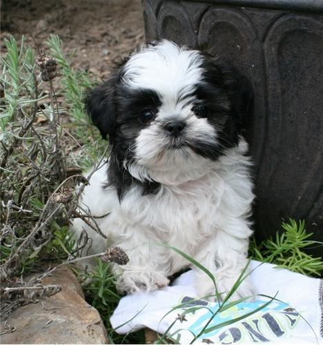 Cute little Shih tzu puppies available for good home  (570) 392-3591