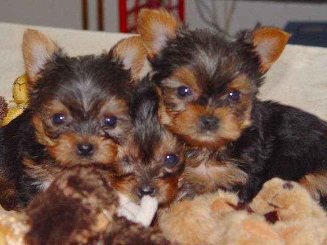 Cute Male And Female Y.O.R.K.S.H.I.R E.T.E.R.R.I.E.R P.u.p.p.i.e.s for good homes(240) 316-4700