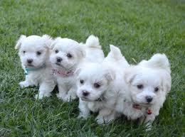 FREE FREE CUTE M.A.L.T.E.S.E Puppies: