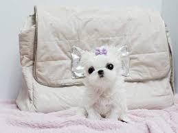 FREE FREE CUTE M.A.L.T.E.S.E Puppies:???
