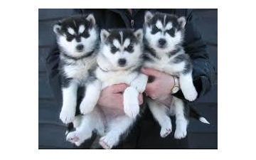 CUTE S.I.B.E.R.I.A.N H.U.S.K.Y Puppies: contact us at(208) 437-5475