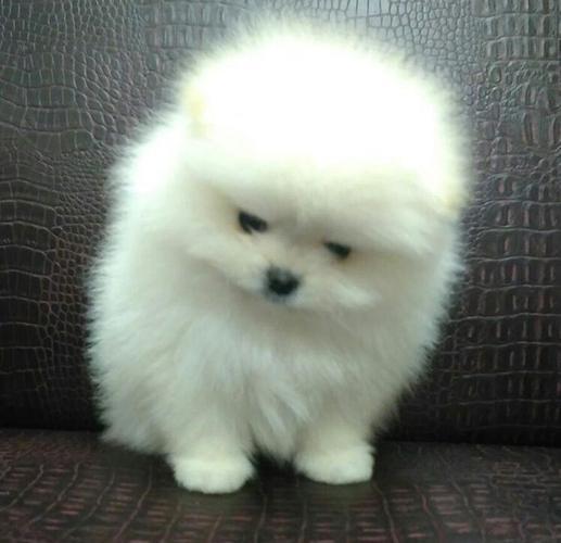 Sweet .Mini P.o.m.e.r.a.n.i.a.n puppies!!!sms (317)-597-0968