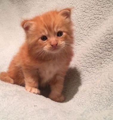 Awesome M.a.i.n.e C.o.o.n. Kittens ready to go. Text us at:  (706) 810-0019