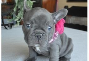 Awesome Blue French Bu.l.l.d.o.g Puppies ready for adoption, Text (267) 570-3689