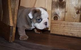 ACTIVE AWESOME BOTH RAISED Fine M/F English B.u.l.l.d.o.g Puppies!!!