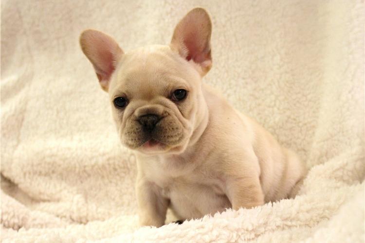 Affectionate M/F French B.u.l.l.d.o.g Puppies!!!(678) 885-7913