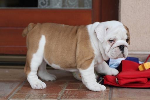 AKC bulldog pupp MAJESTIC