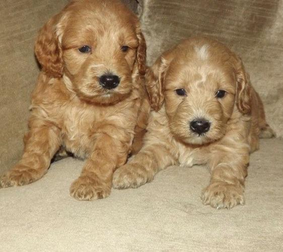 CUTE  C.o.c.k.a.p.o.o  Puppies: contact us at 719 645-7315