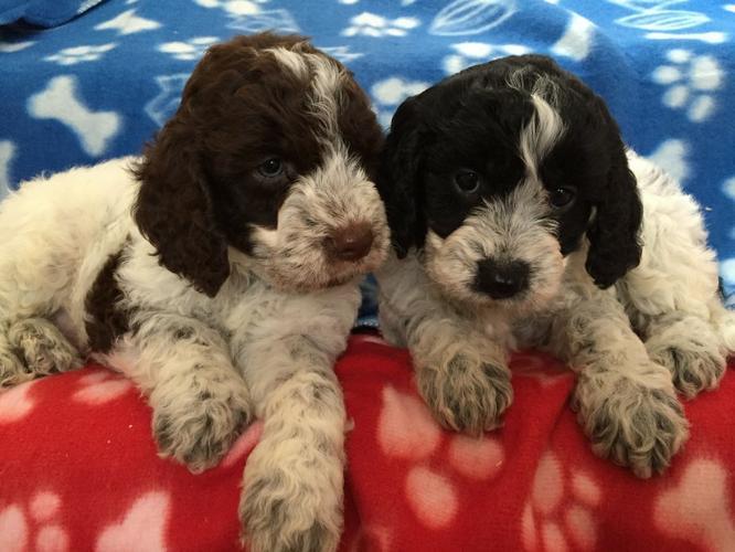 CUTE  C.o.c.k.a.p.o.o  Puppies: contact us at 719 645-7315