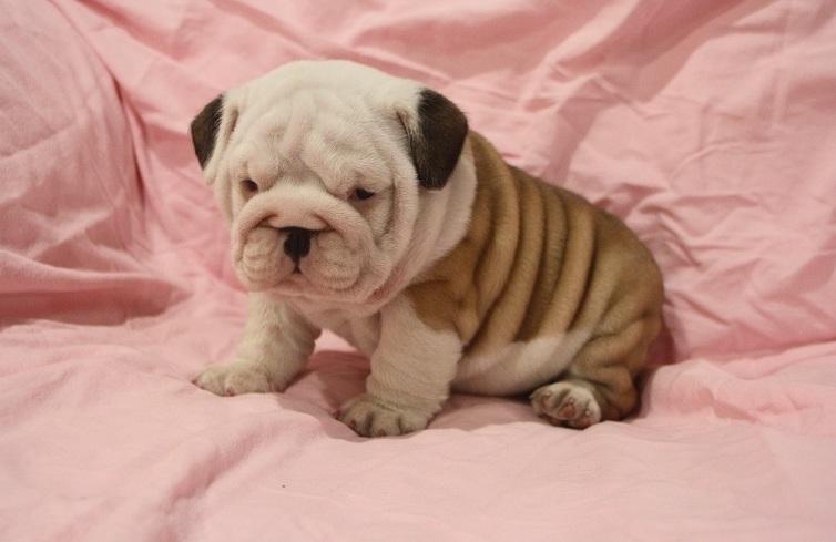 Affectionate M/F English B.u.l.l.d.o.g Puppies!!!(218) 409-6621