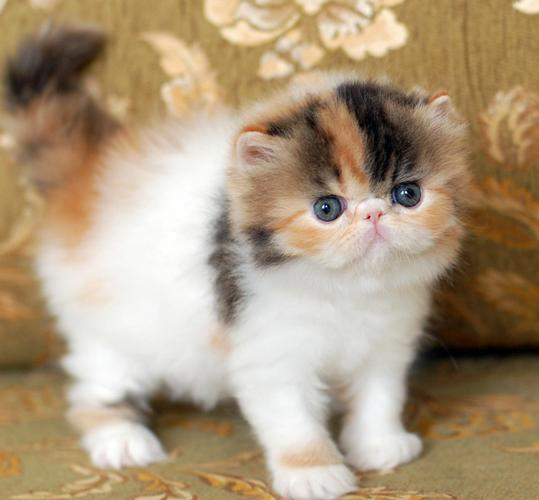 3 Awesome exotic shorthairs kittens need new homes