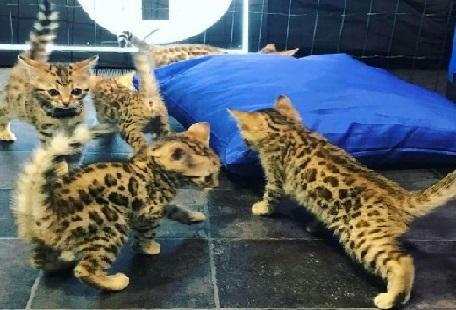 3 Awesome bengal kittens need new homes