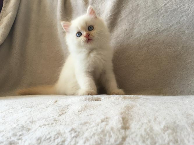 3 Awesome persian kittens need new homes